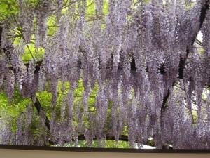 Voi tätä kukkien määrää Pergolan kattorakenteissa.